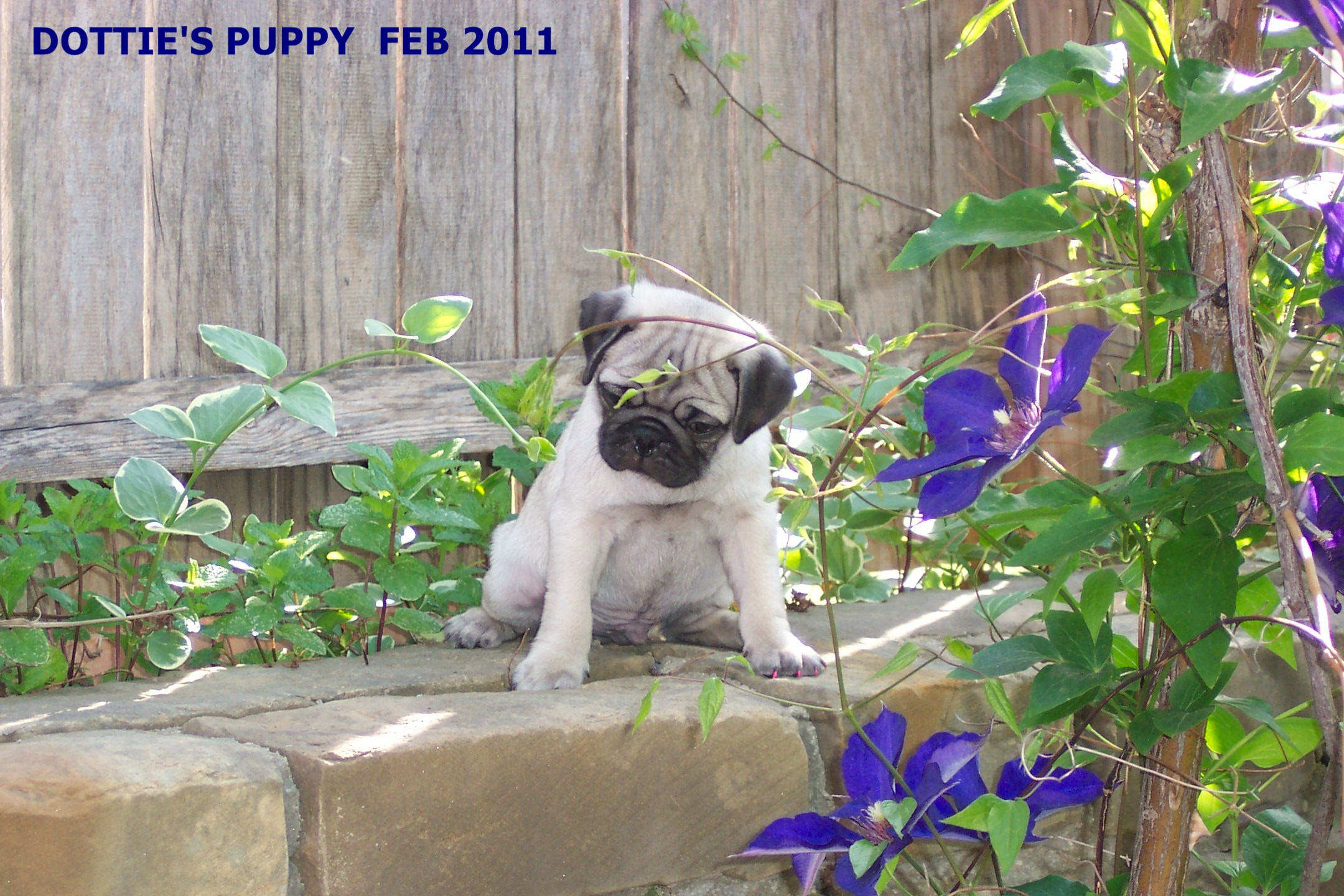 DOTTIES MALE PUP OUTside 2011 clematis