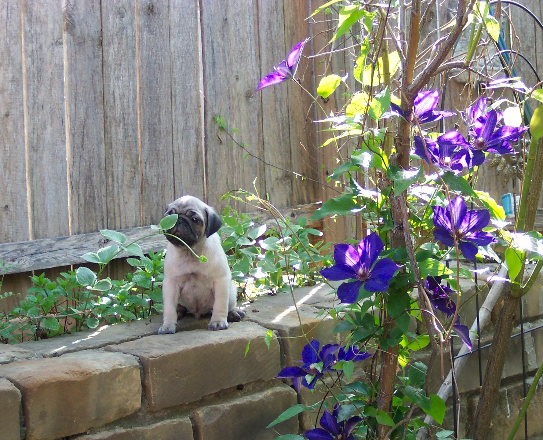 DOTTIES PUP 2011 CLEMATIS OUTSIDE BY WALL